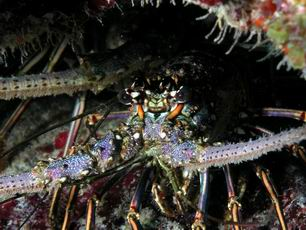 Spiny Lobster - GAL Photo