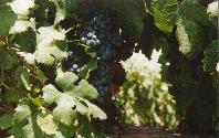 Frog's Leap Grapes - KMB Photo