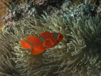 Anemone Fish - GAL Photo