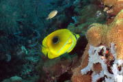Butterfly Fish - GAL Photo
