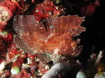 Leaf Scorpion Fish - GAL Photo