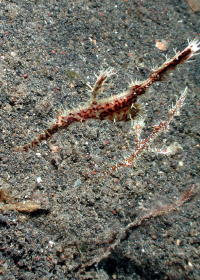 Ghost Pipefish - GAL Photo