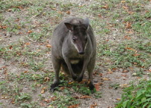 Tree Kangaroo - GAL Photo