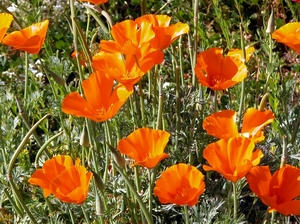 Poppies, poppies, poppies . . .